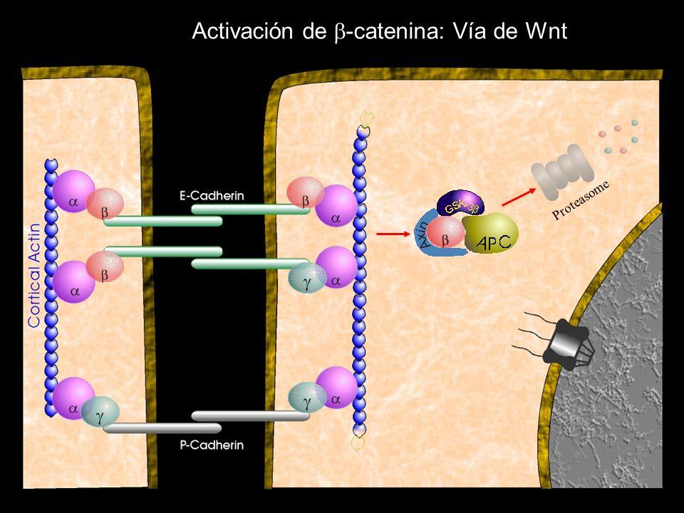 Activación de b-catenina: Vía de Wnt