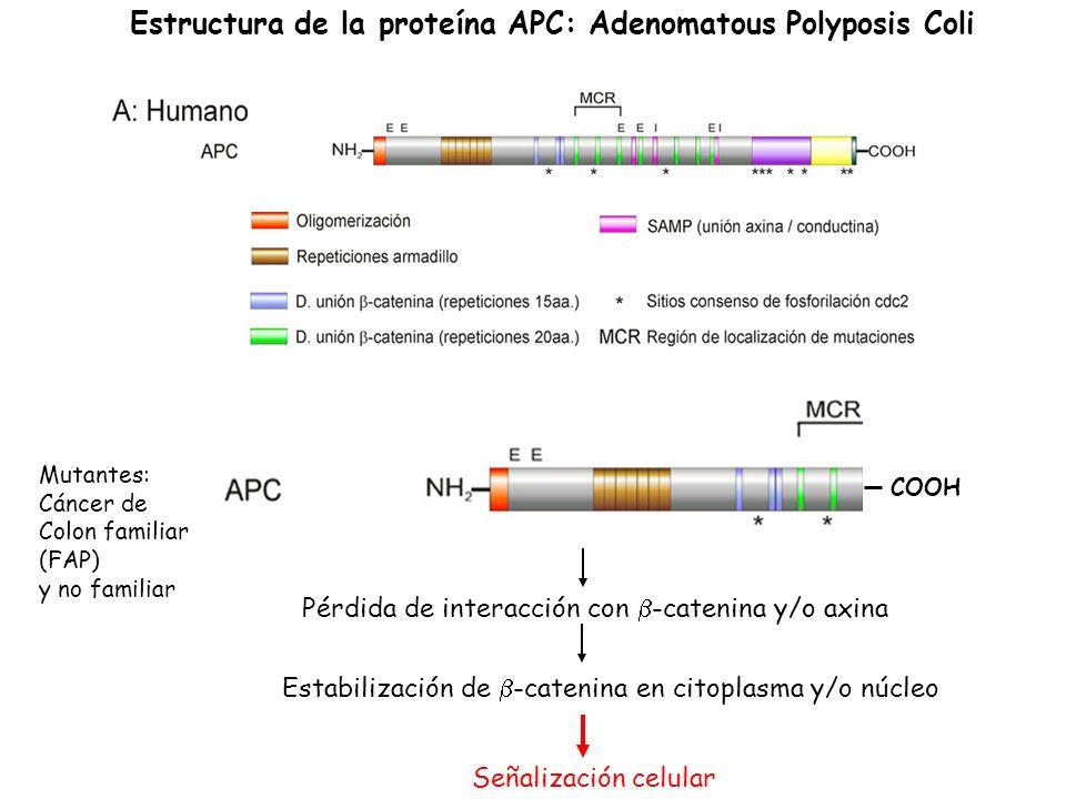 Estructura de la proteína APC: Adenomatous Polyposis Coli