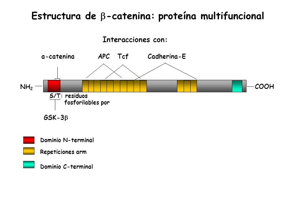 Estructura de b-catenina: proteína multifuncional