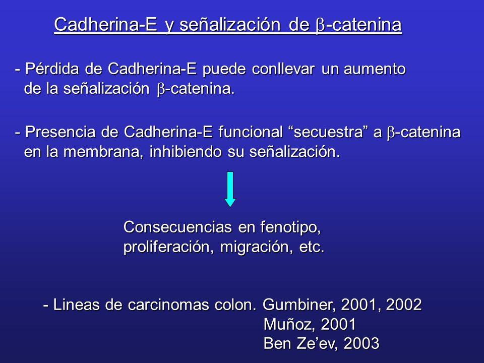 Cadherina-E y señalización de b-catenina