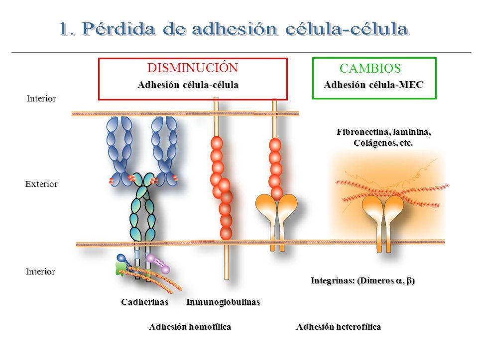 Fibronectina, laminina,