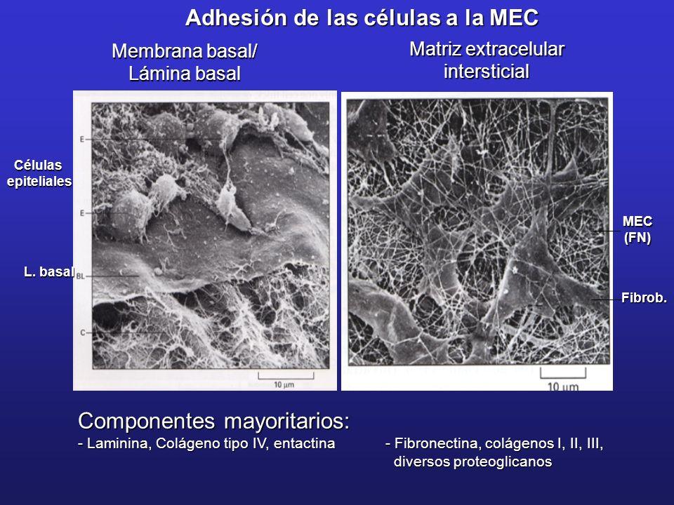 Adhesión de las células a la MEC