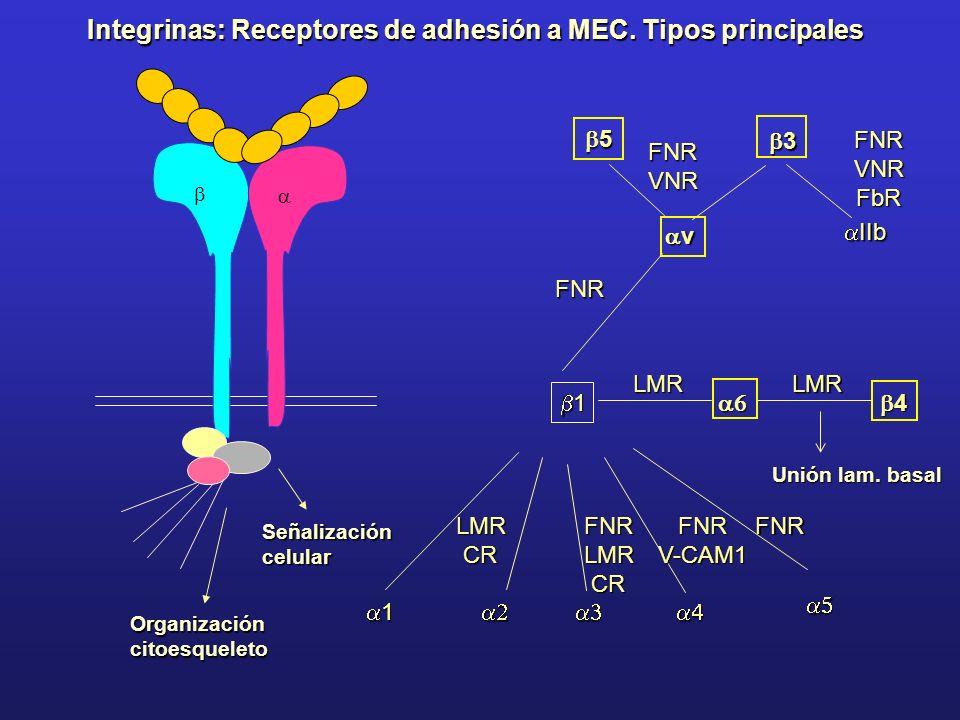Integrinas: Receptores de adhesión a MEC. Tipos principales