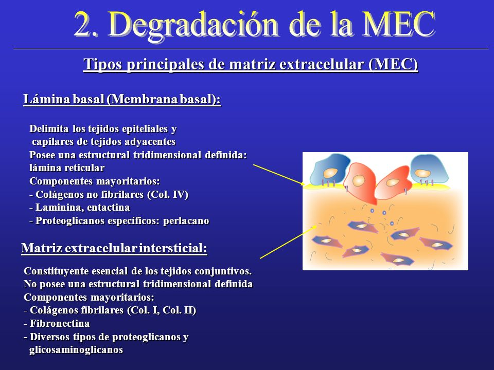 2. Degradación de la MEC Tipos principales de matriz extracelular (MEC) Lámina basal (Membrana basal):