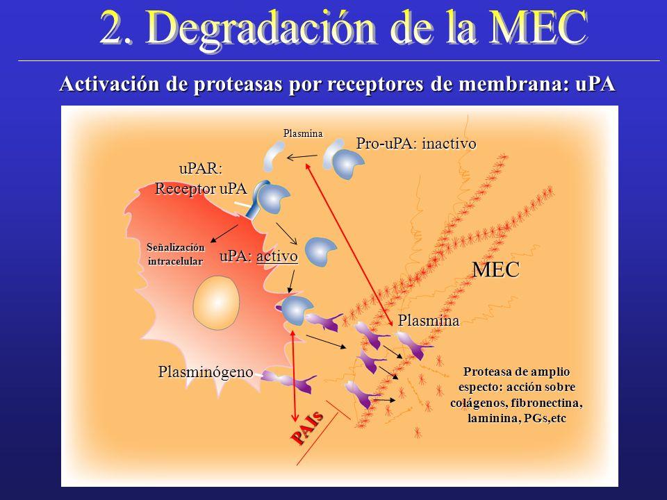 colágenos, fibronectina,