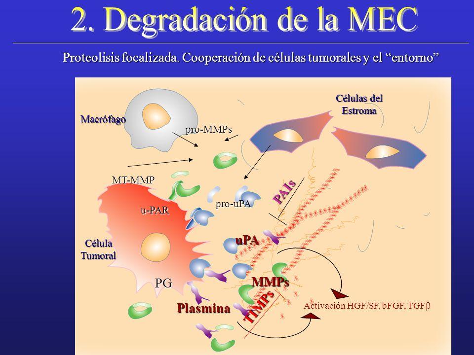 2. Degradación de la MEC Proteolisis focalizada. Cooperación de células tumorales y el entorno Células del.