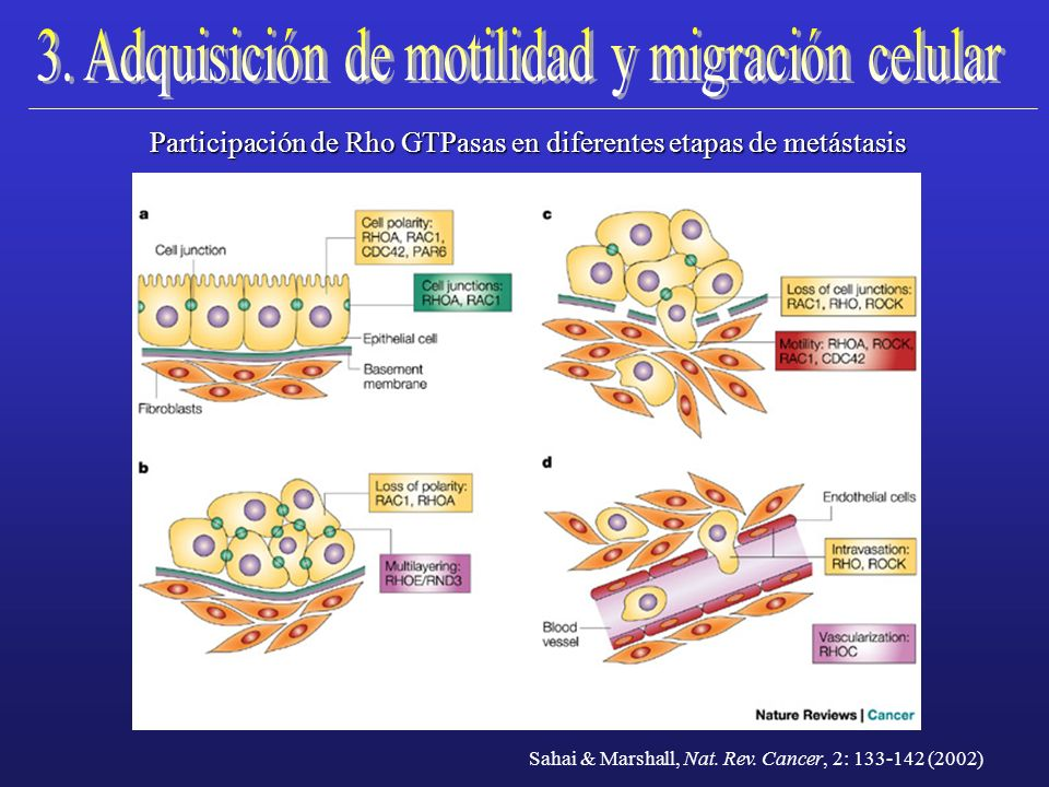 3. Adquisición de motilidad y migración celular
