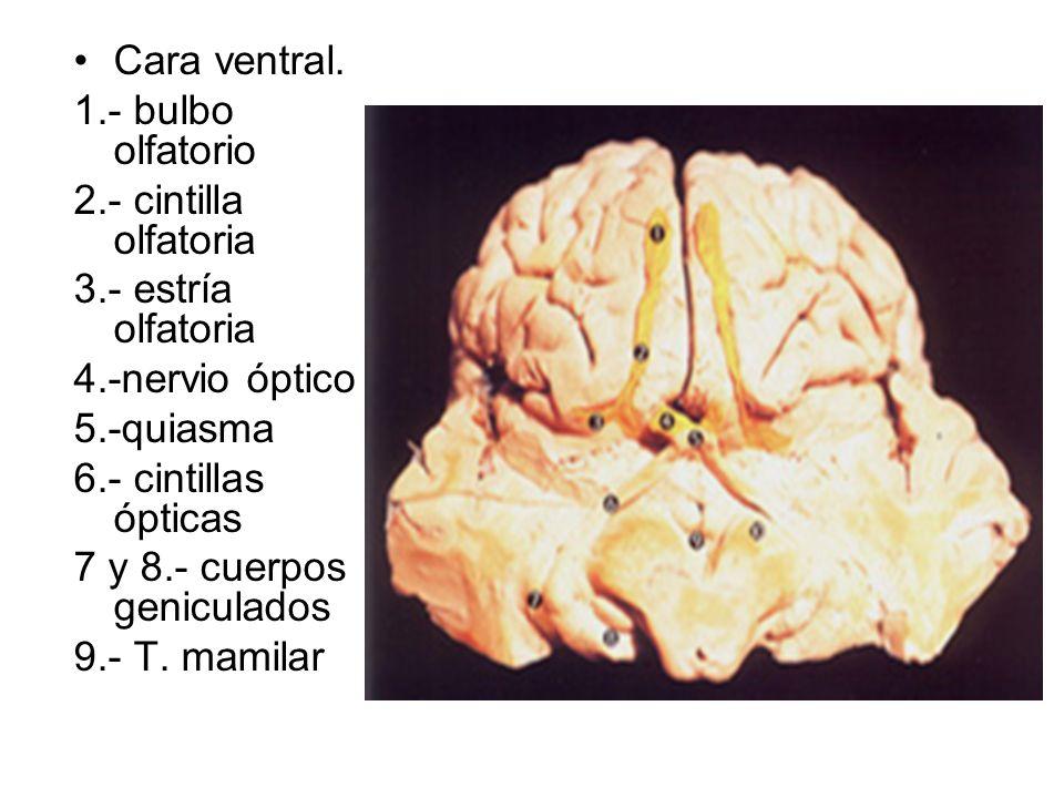 Cara ventral. 1.- bulbo olfatorio. 2.- cintilla olfatoria. 3.- estría olfatoria. 4.-nervio óptico.