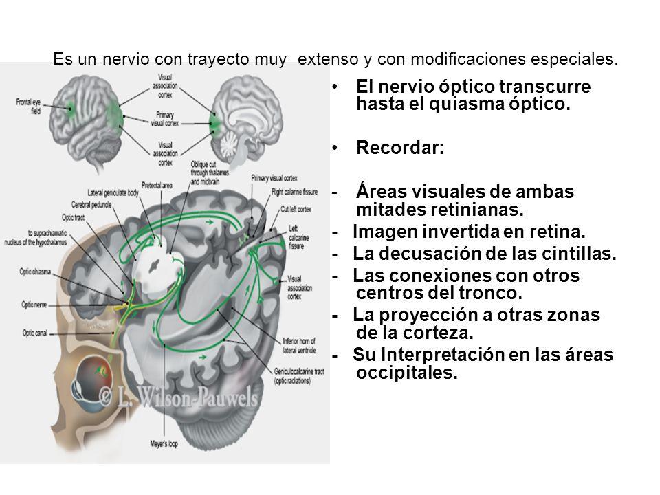 Es un nervio con trayecto muy extenso y con modificaciones especiales.