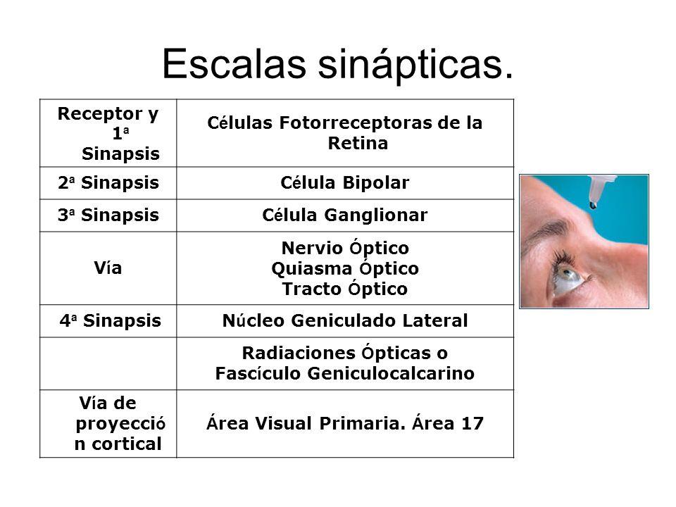 Escalas sinápticas. Receptor y 1ª Sinapsis