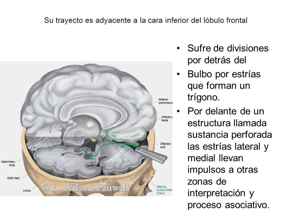 Su trayecto es adyacente a la cara inferior del lóbulo frontal