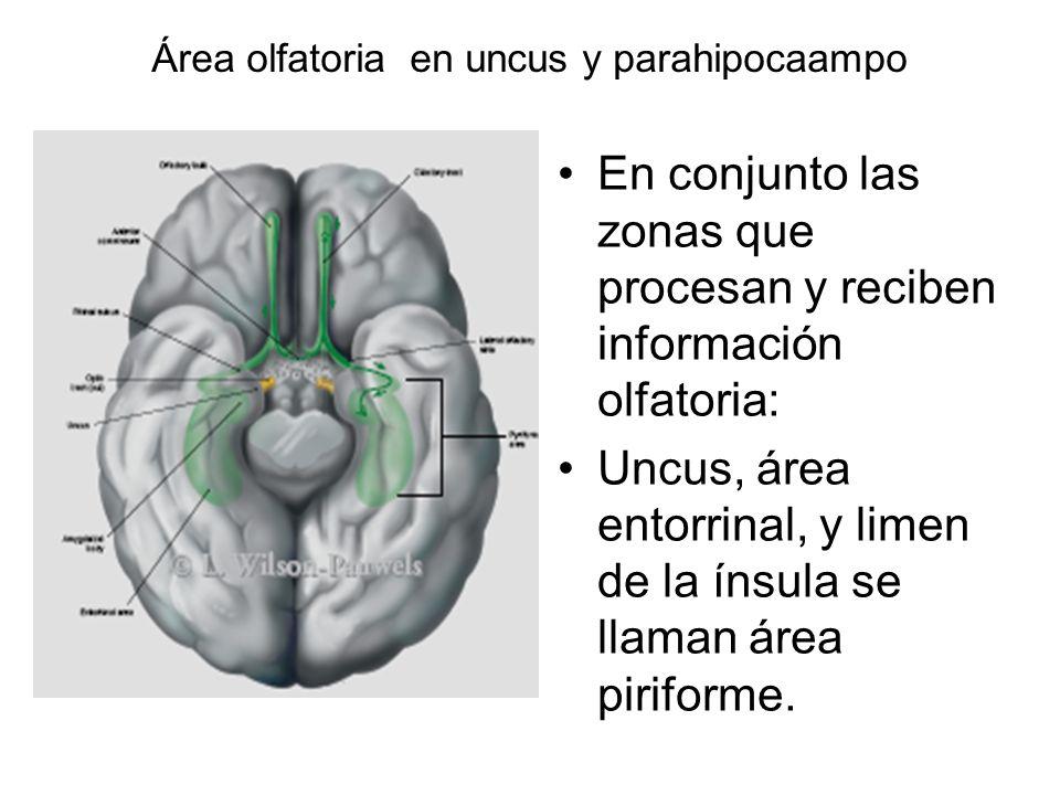 Área olfatoria en uncus y parahipocaampo