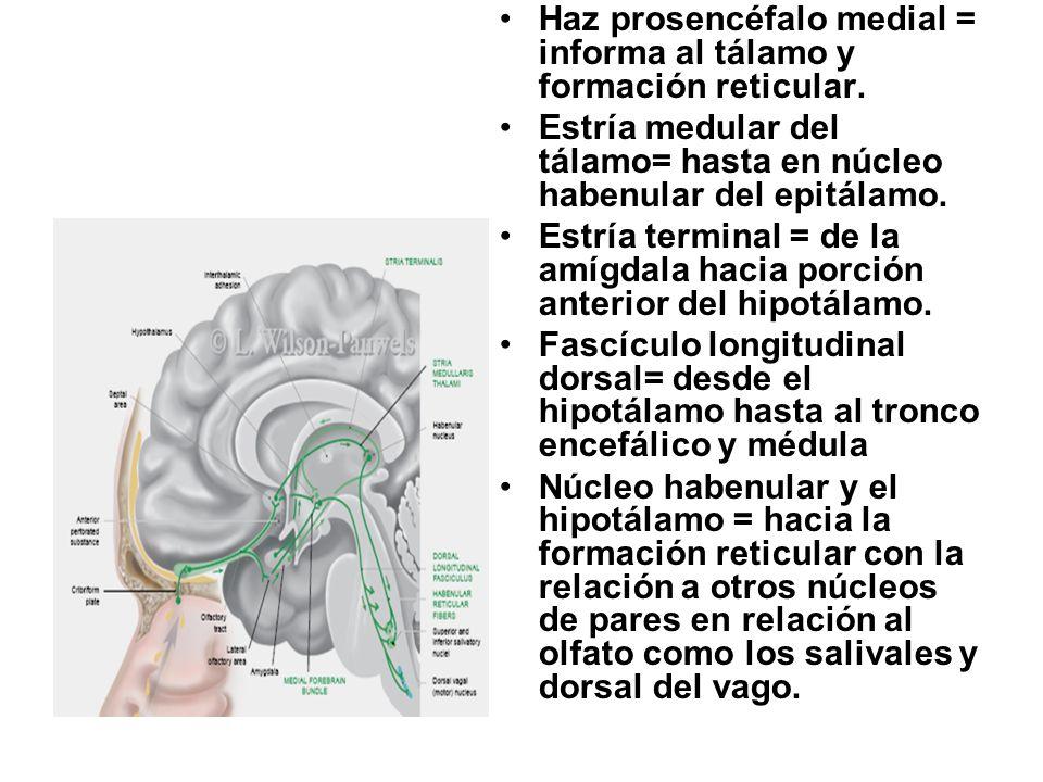 Haz prosencéfalo medial = informa al tálamo y formación reticular.