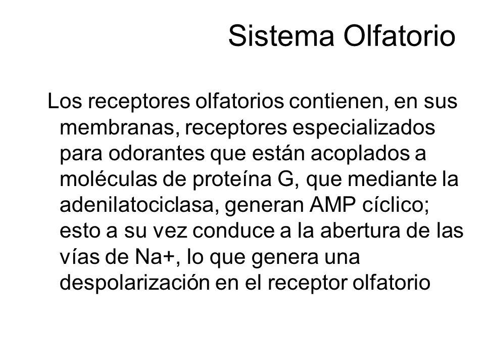 Sistema Olfatorio