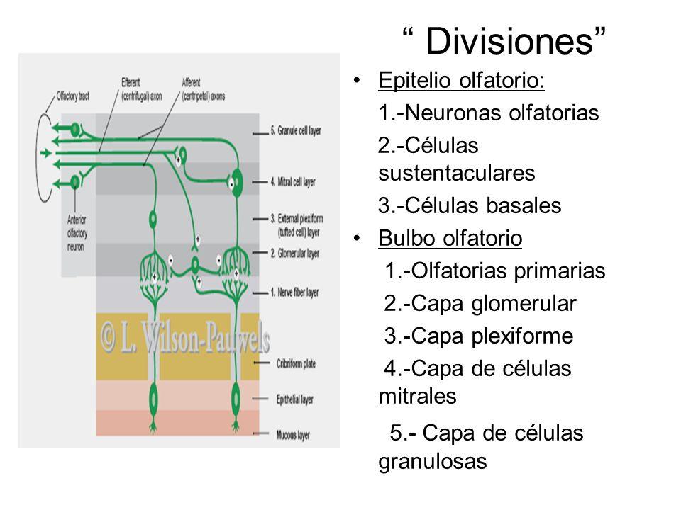 Divisiones 5.- Capa de células granulosas Epitelio olfatorio: