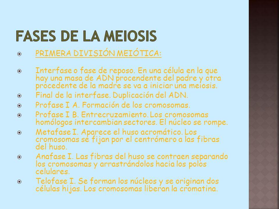 Fases de la meiosis PRIMERA DIVISIÓN MEIÓTICA: