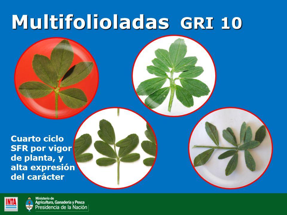Multifolioladas GRI 10 Cuarto ciclo SFR por vigor de planta, y alta expresión del carácter