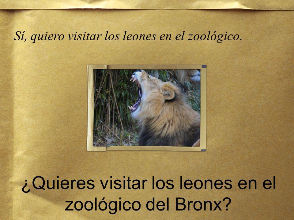 ¿Quieres visitar los leones en el zoológico del Bronx