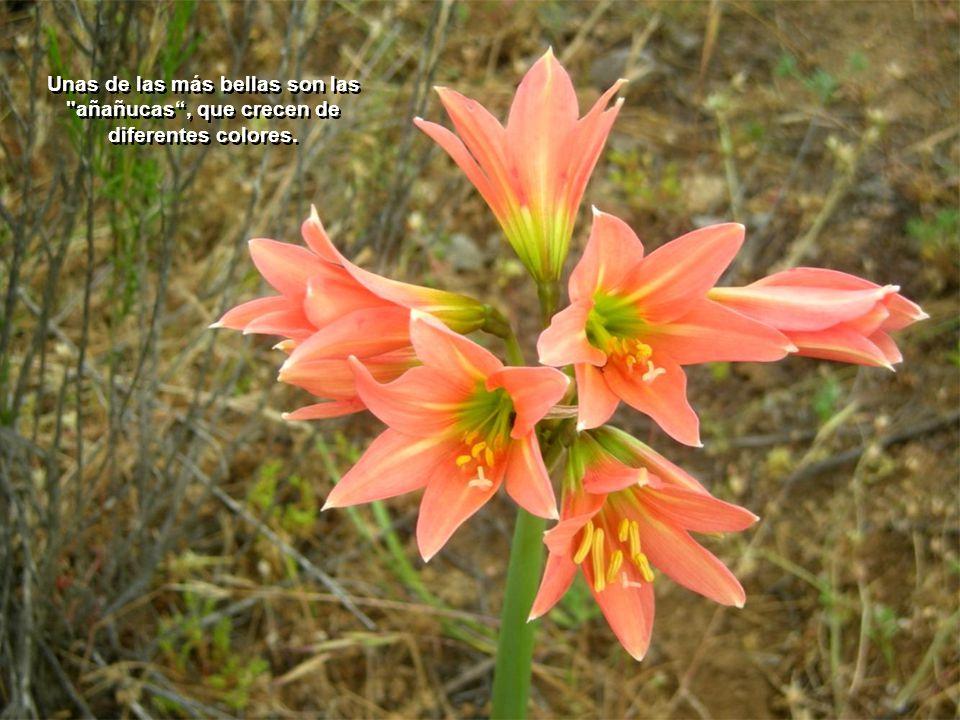 Unas de las más bellas son las añañucas , que crecen de diferentes colores.