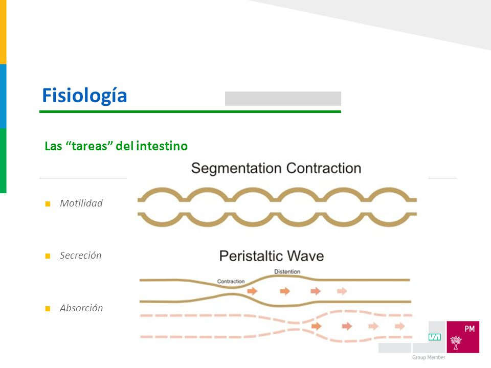 Fisiología Las tareas del intestino Motilidad Secreción Absorción