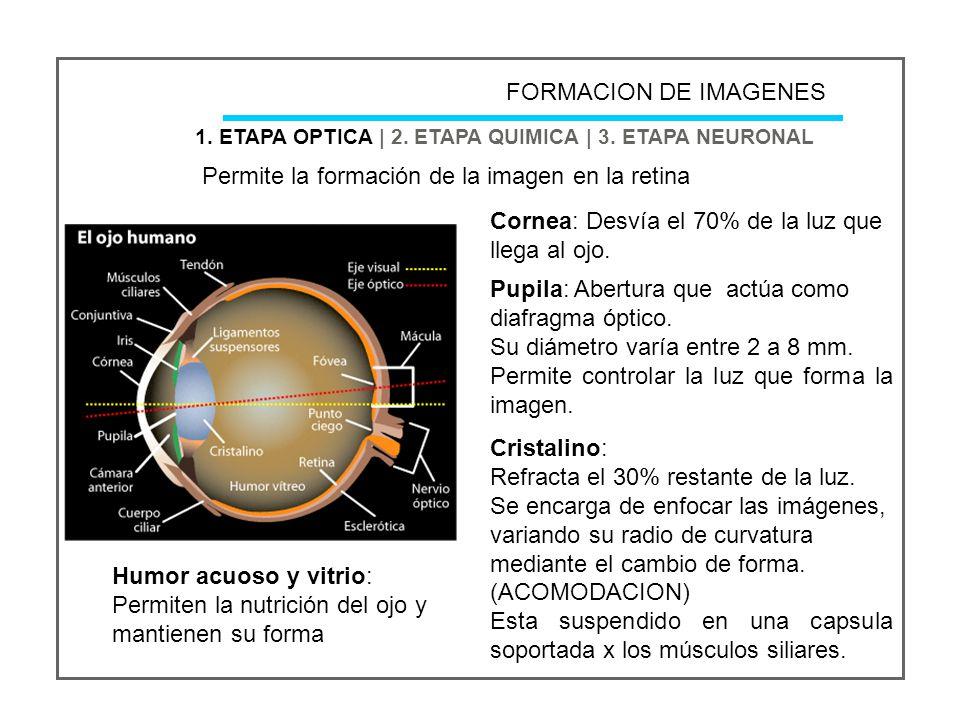 Permite la formación de la imagen en la retina