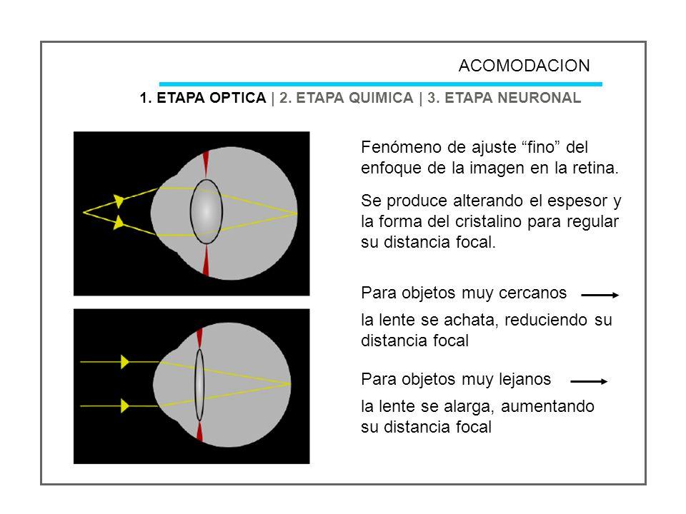 Fenómeno de ajuste fino del enfoque de la imagen en la retina.