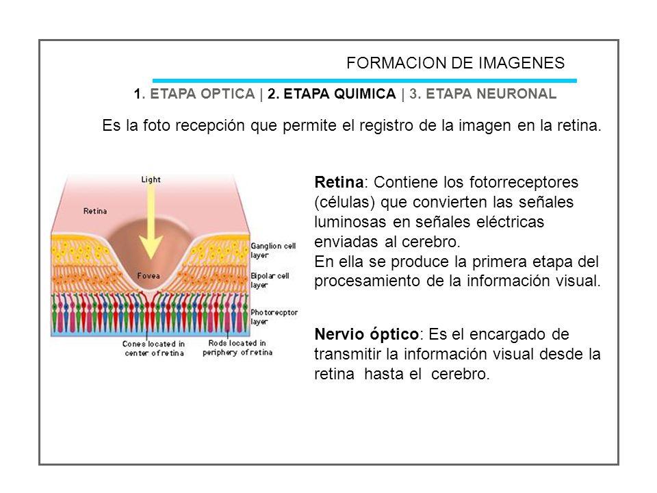 FORMACION DE IMAGENES 1. ETAPA OPTICA   2. ETAPA QUIMICA   3. ETAPA NEURONAL.