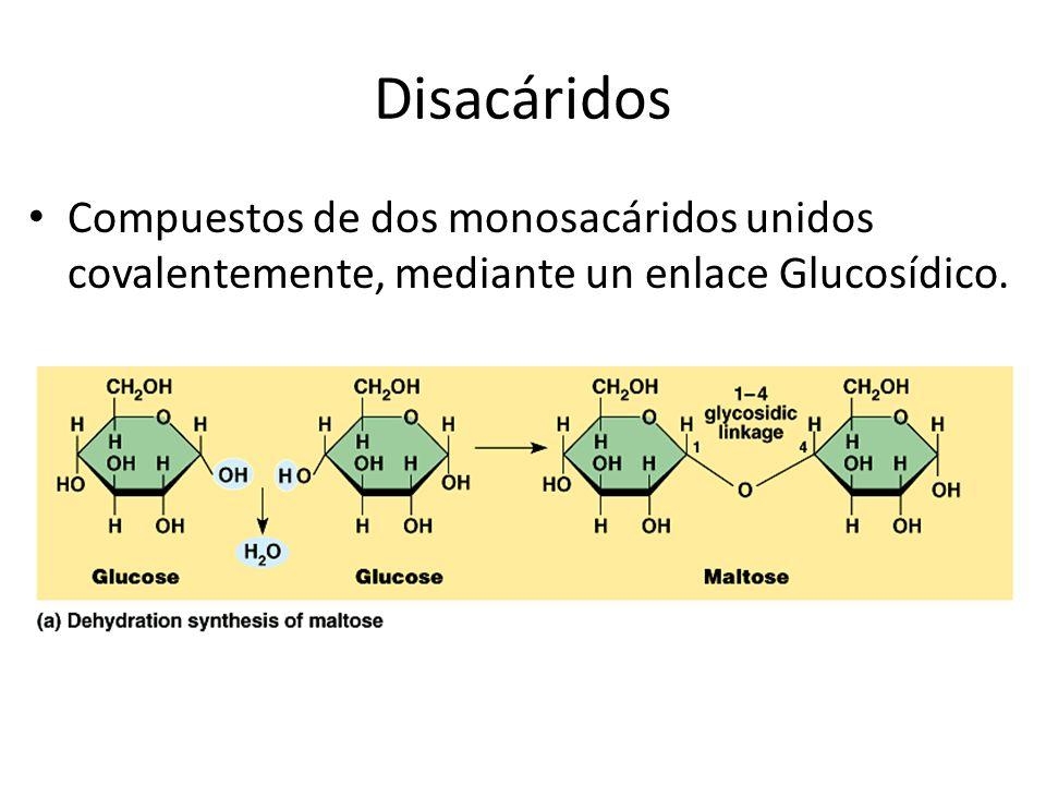 Disacáridos Compuestos de dos monosacáridos unidos covalentemente, mediante un enlace Glucosídico.
