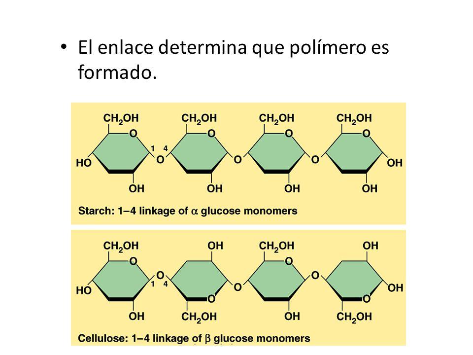 El enlace determina que polímero es formado.
