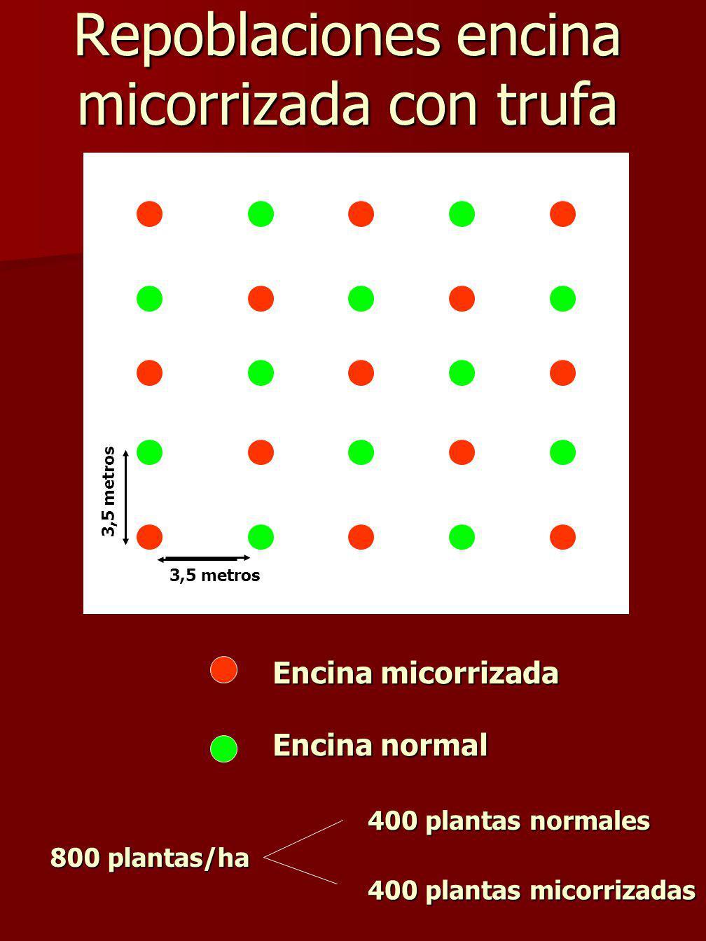 Repoblaciones encina micorrizada con trufa