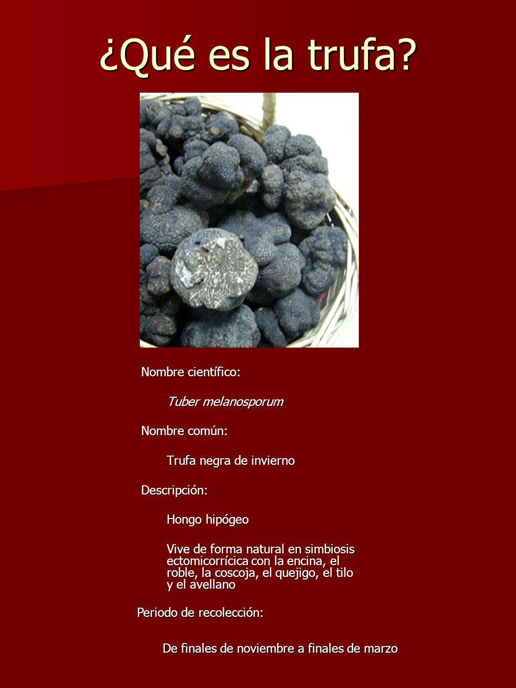 ¿Qué es la trufa Nombre científico: Tuber melanosporum Nombre común:
