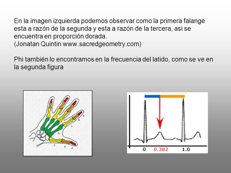 En la imagen izquierda podemos observar como la primera falange esta a razón de la segunda y esta a razón de la tercera, asi se encuentra en proporción dorada.