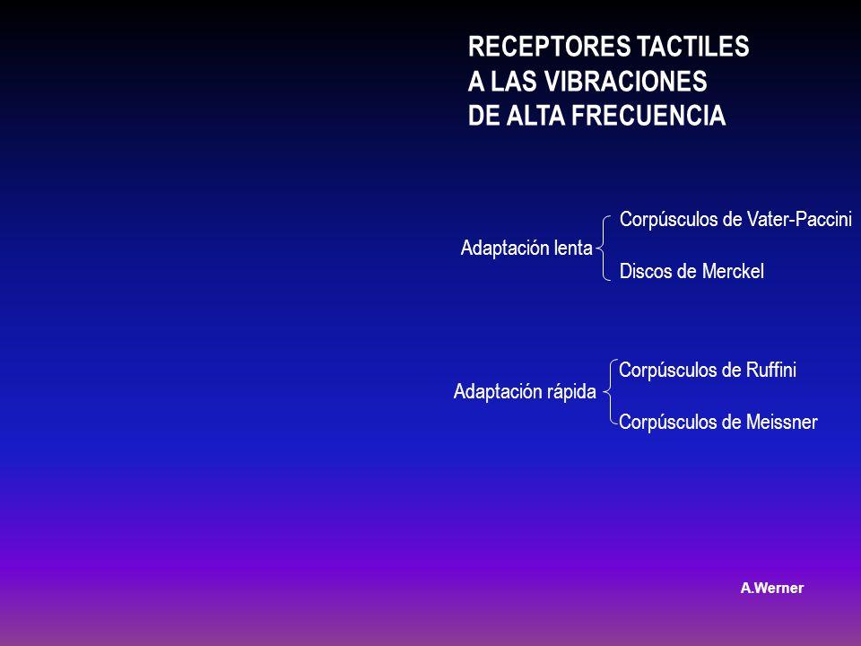 RECEPTORES TACTILES A LAS VIBRACIONES DE ALTA FRECUENCIA
