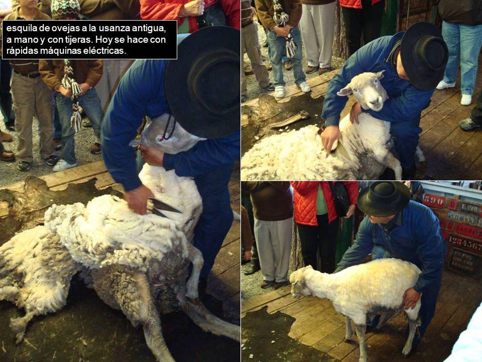 esquila de ovejas a la usanza antigua, a mano y con tijeras