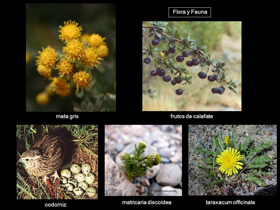 Flora y Fauna mata gris frutos de calafate matricaria discoidea taraxacum officinale codorniz