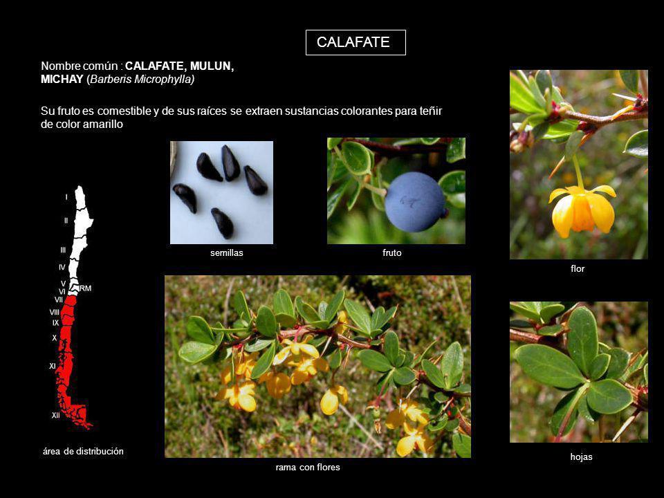 CALAFATE Nombre común : CALAFATE, MULUN, MICHAY (Barberis Microphylla)