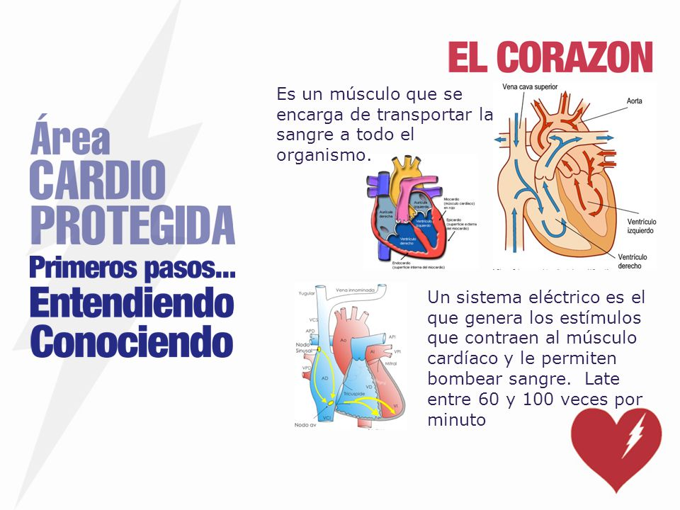Es un músculo que se encarga de transportar la sangre a todo el organismo.