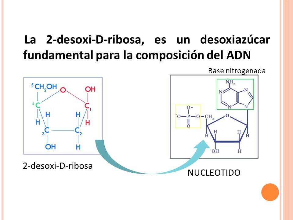 La 2-desoxi-D-ribosa, es un desoxiazúcar fundamental para la composición del ADN
