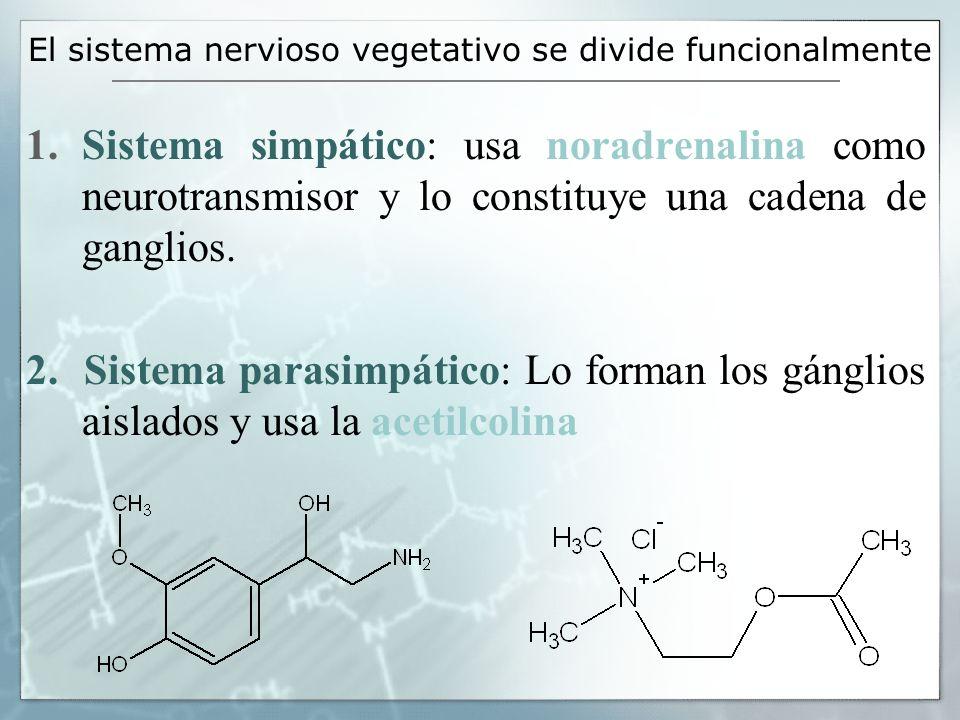 El sistema nervioso vegetativo se divide funcionalmente