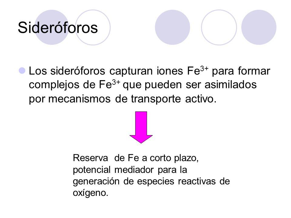 Sideróforos Los sideróforos capturan iones Fe3+ para formar complejos de Fe3+ que pueden ser asimilados por mecanismos de transporte activo.