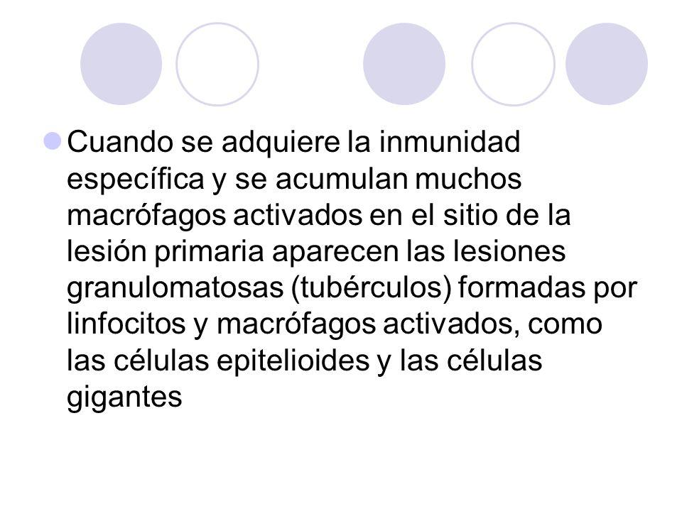 Cuando se adquiere la inmunidad específica y se acumulan muchos macrófagos activados en el sitio de la lesión primaria aparecen las lesiones granulomatosas (tubérculos) formadas por linfocitos y macrófagos activados, como las células epitelioides y las células gigantes
