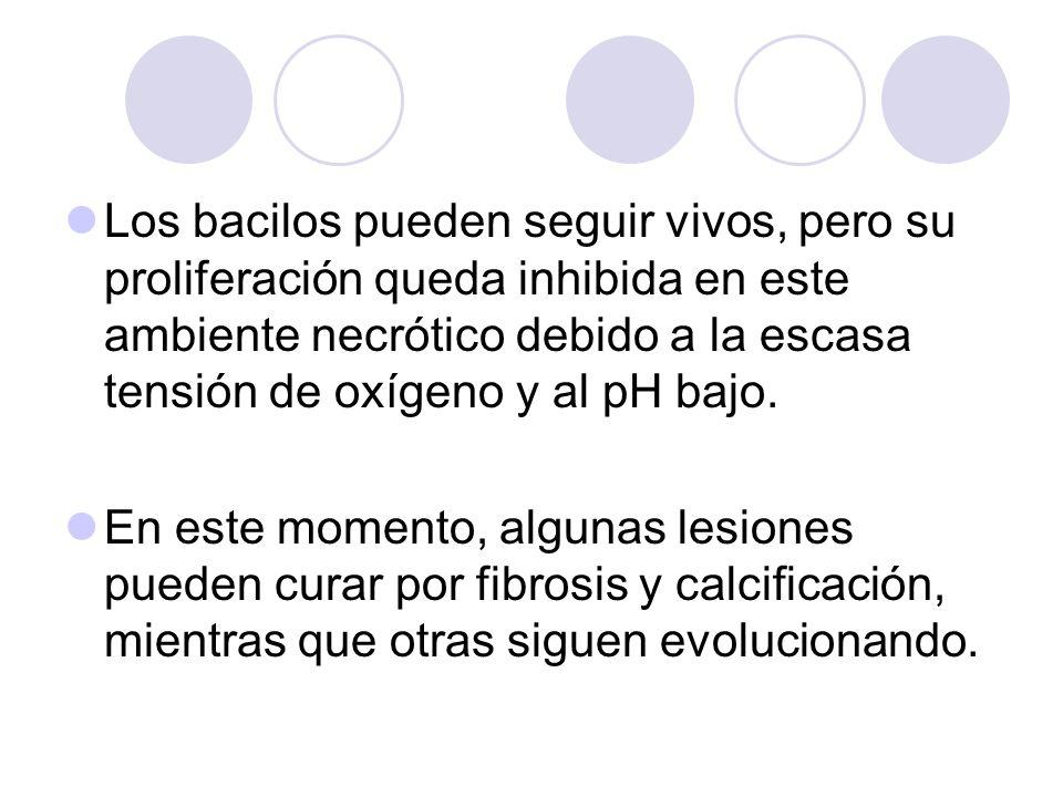 Los bacilos pueden seguir vivos, pero su proliferación queda inhibida en este ambiente necrótico debido a la escasa tensión de oxígeno y al pH bajo.