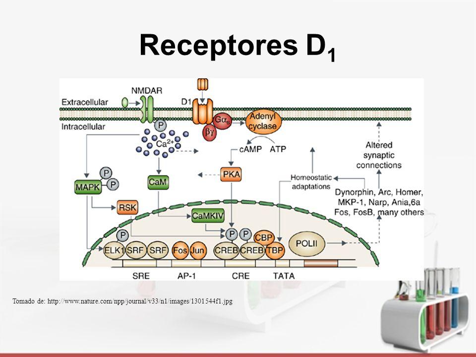 Receptores D1 Tomado de: http://www.nature.com/npp/journal/v33/n1/images/1301544f1.jpg