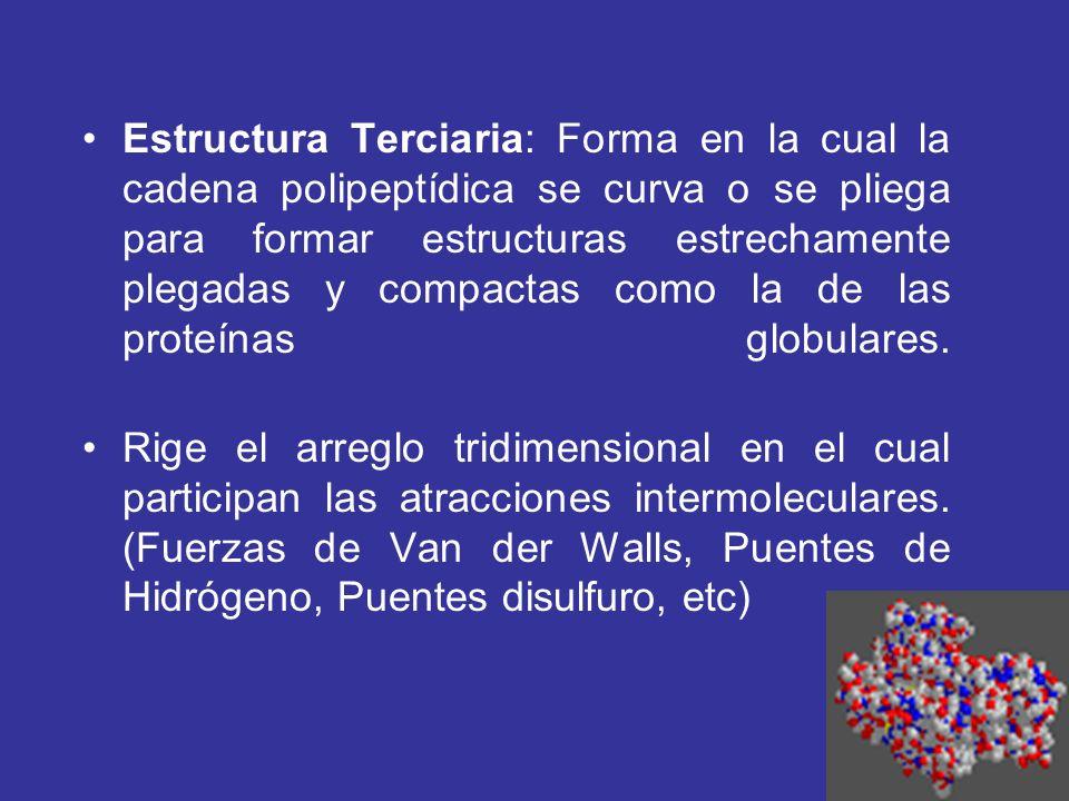 Estructura Terciaria: Forma en la cual la cadena polipeptídica se curva o se pliega para formar estructuras estrechamente plegadas y compactas como la de las proteínas globulares.