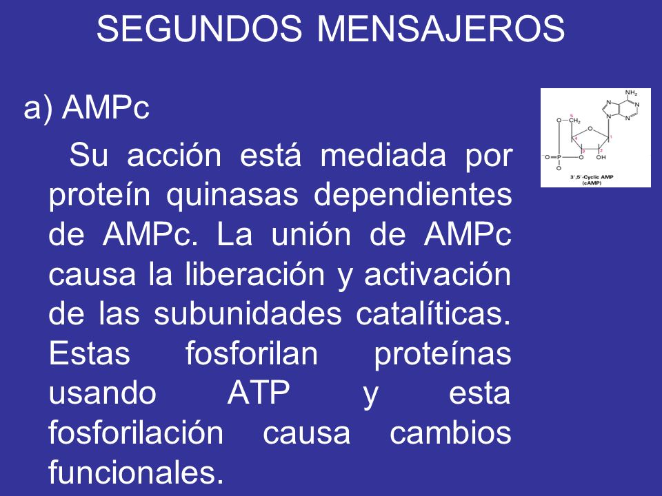 SEGUNDOS MENSAJEROS a) AMPc