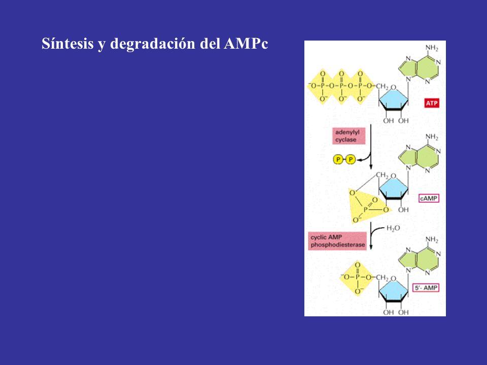 Síntesis y degradación del AMPc