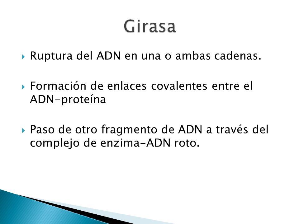 Girasa Ruptura del ADN en una o ambas cadenas.