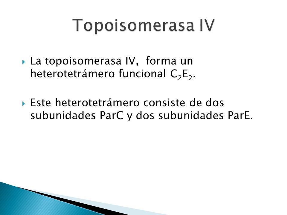 Topoisomerasa IV La topoisomerasa IV, forma un heterotetrámero funcional C2E2.