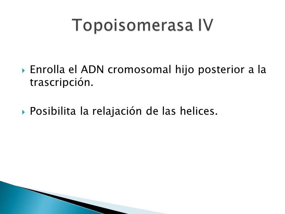 Topoisomerasa IV Enrolla el ADN cromosomal hijo posterior a la trascripción.