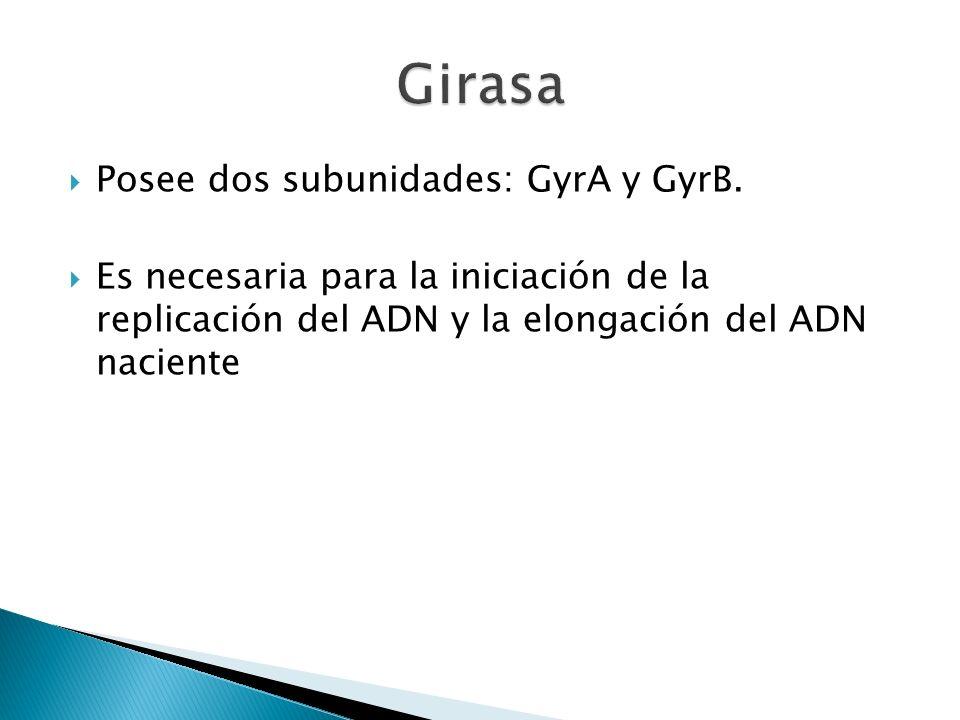 Girasa Posee dos subunidades: GyrA y GyrB.